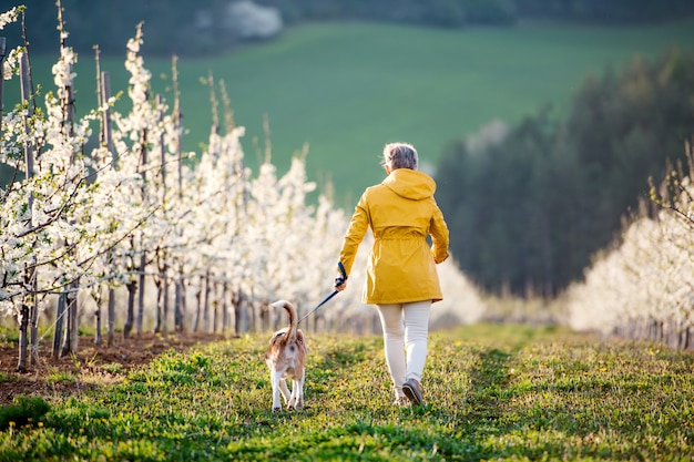 A rear view of senior woman with a pet dog on a walk in spring orchard nature.