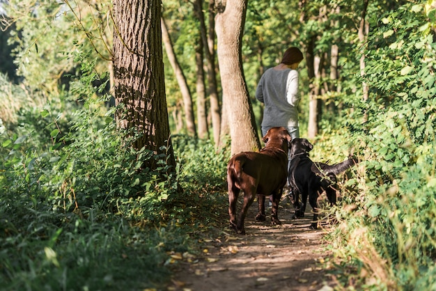 Rear view of a woman walking with her two labrador in trail at forest