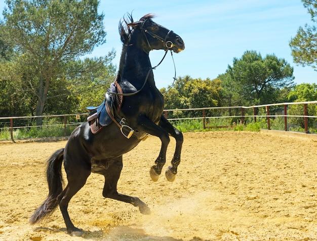 Rearing black stallion