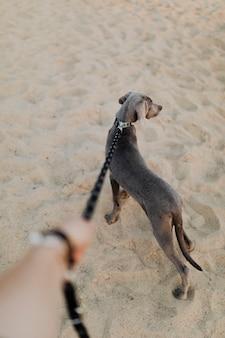 砂の上を歩くワイマラナー犬のバックミラー