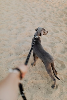 Rearview of a weimaraner dog walking on a sand