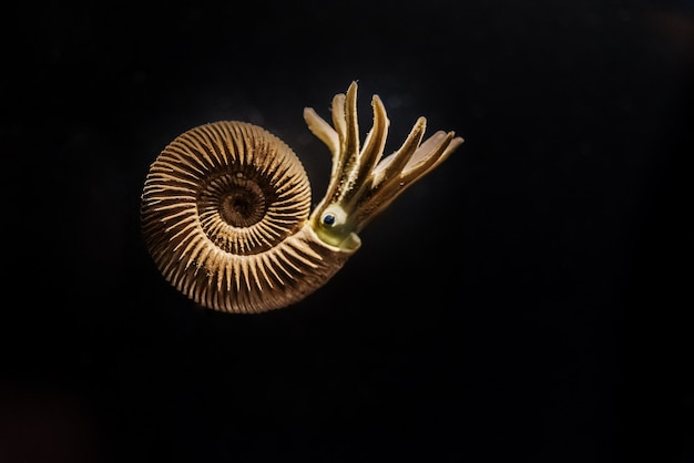 Reconstruction of an ammonites dactylioceras commune