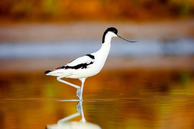 アボセット、recurvirostra avosetta