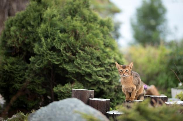 Красный абиссинский кот сидит на деревянном заборе на природе в саду