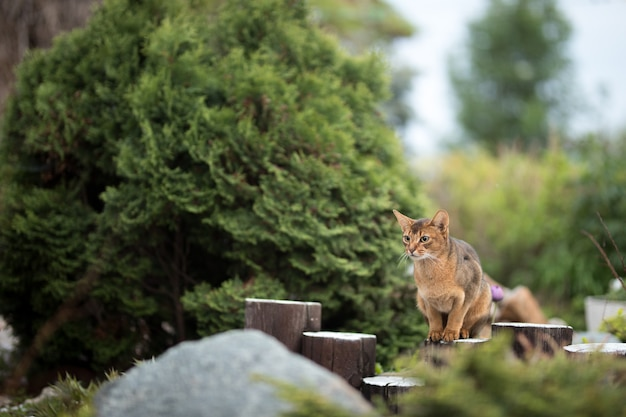 Red abyssinian cat sitting on a wooden fence on the nature in the garden