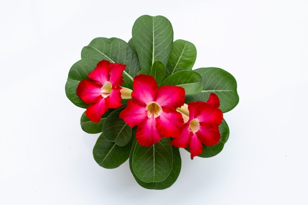 Red adenium flower with green leaves on white surface