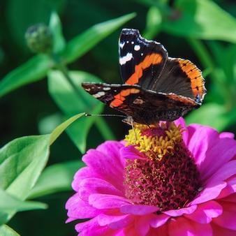 Красная бабочка адмирал на цветке циннии