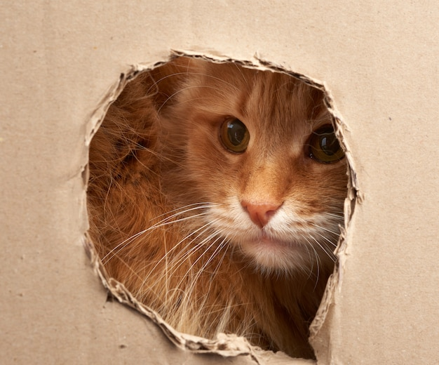 Red adult cat peeps through a hole in a sheet of brown cardboard