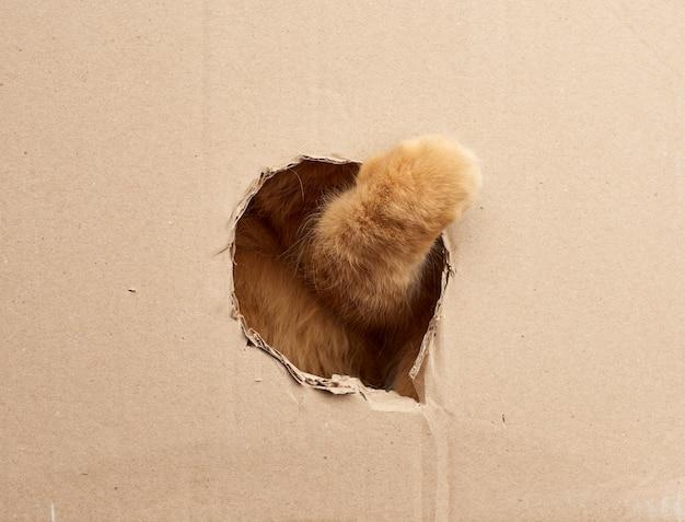 빨간 성인 고양이는 갈색 골판지 상자에 둥근 구멍에 발을 넣어