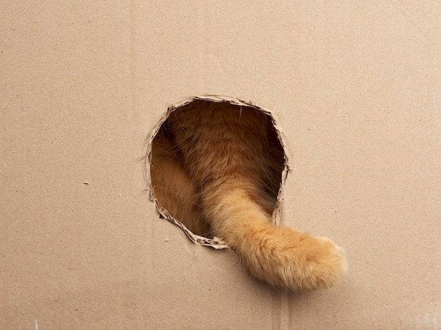 Red adult cat put his paw into a round hole in a brown cardboard box