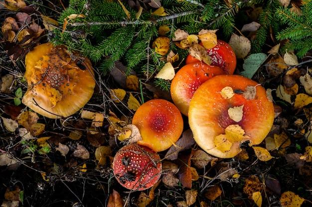 Красный мухомор на дереве в лесу