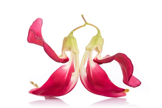 Red agasta flower, sesban or  vegetable humming bird isolated on white