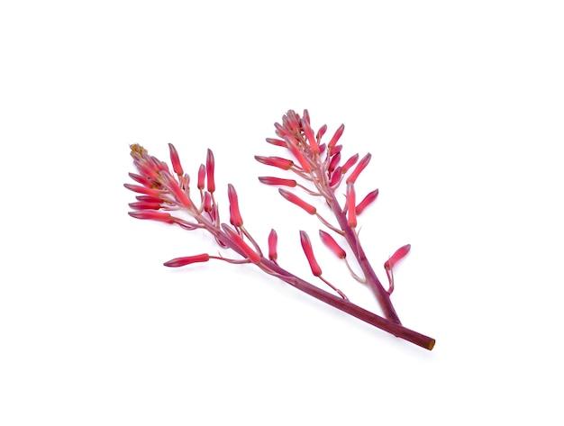 흰색 표면에 고립 된 빨간 알로에 꽃