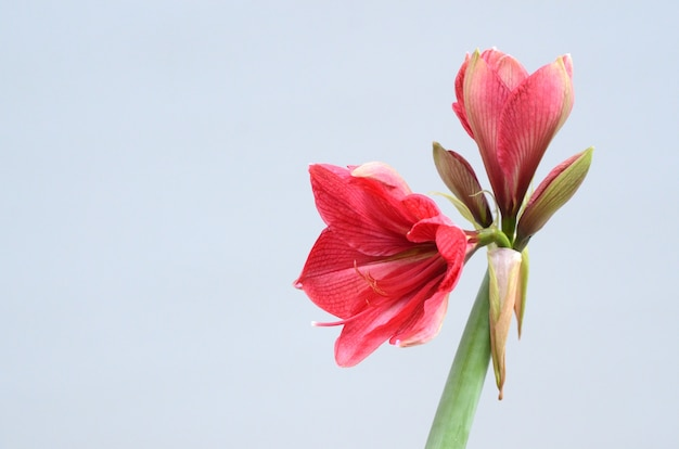 Red amaryllis flower for background