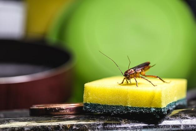 Красный и черный таракан на кухонной губке. понятие о грязи и проблеме с насекомыми