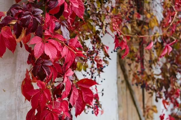 古い納屋の壁にある乙女のブドウの赤とバーガンディの葉、前景に選択的に焦点を当てています。コピースペースと秋の背景。