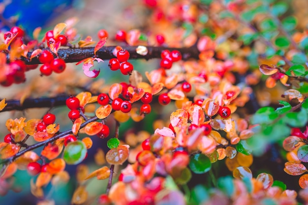 Красные и зеленые листья барбариса berberis thunbergii atropurpurea после дождя. красивый красочный осенний фон.