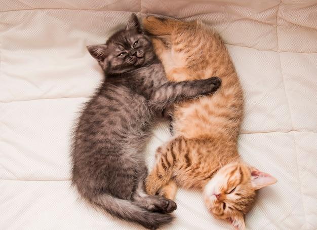 赤と灰色の縞模様の英国の子猫