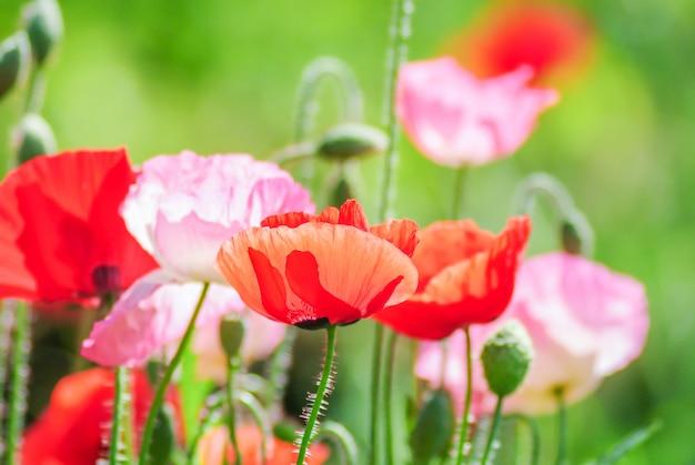 Красные и розовые цветы мака в поле, красный мак