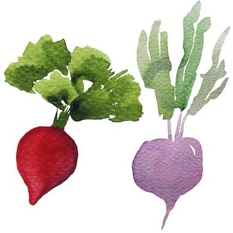 白で隔離される赤と紫の大根根植物水彩画