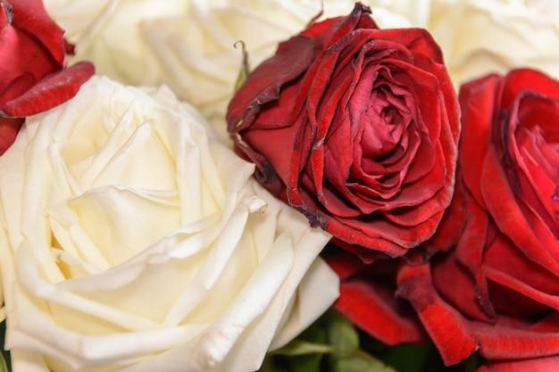 Красные и белые розы крупным планом. весенние цветы.