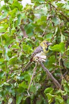 Красно-желтый барбет на дереве. тарангире, танзания