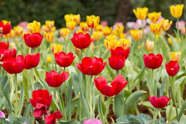 빨간색과 노란색 튤립 꽃밭