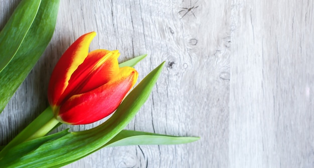 木製の背景に赤と黄色のチューリップ。母の日や国際女性の日への完璧な招待状。広告やプロモーションのためのミニマリストの明るい花の背景。母の日はがき。
