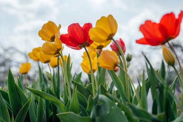 흐린 푸른 하늘에 바람에 흔들리는 빨간색과 노란색 튤립