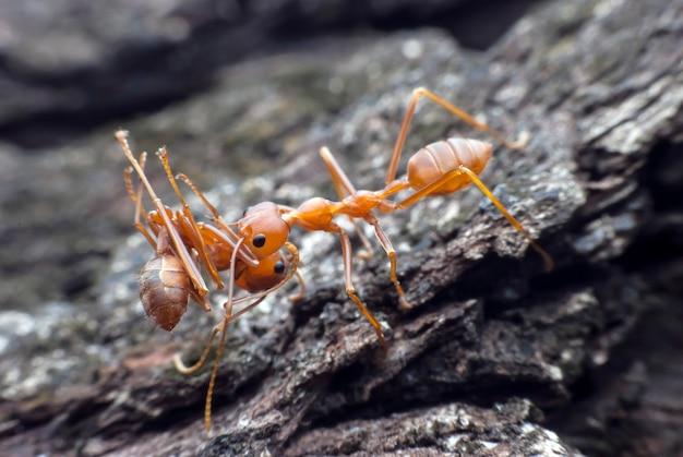 음식을 들고 붉은 개미.