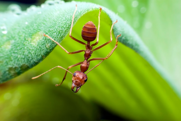 Red ant close up