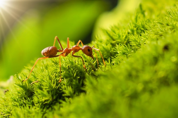 Red ant on green grass with sunlight in morning