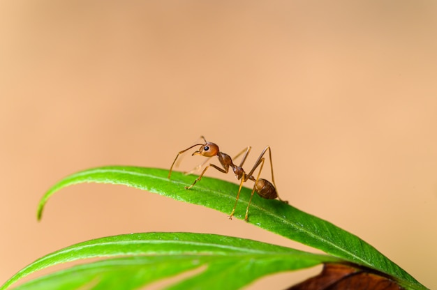Red ant or oecophylla smaragdina on plants in nature.