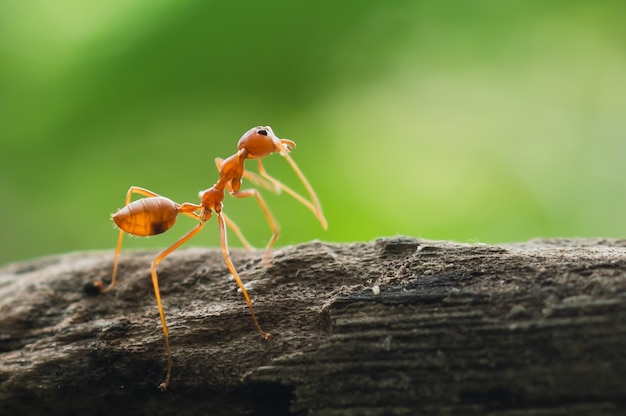 Red ant standing on tree in forest
