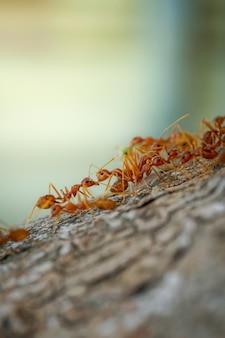 赤アリは木のマクロの性質を歩く
