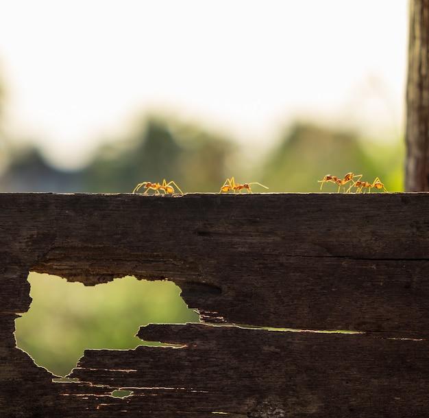 Красный муравей идет по деревянной доске вечером