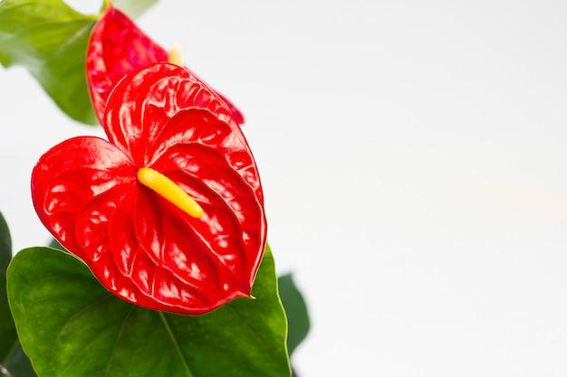 Red anthurium flower on a white background.