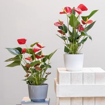 냄비에 붉은 국화 laceleaf 꽃 식물