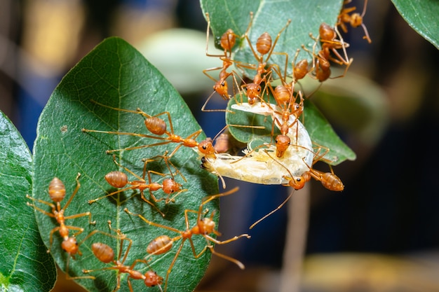 Red ants are sending food to each other