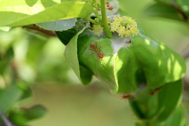 붉은 개미가 나뭇잎에 둥지를 틀다