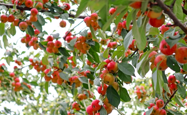 Red apple fruits growing in a tree