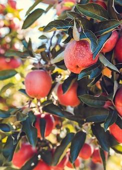 나무에 빨간 사과 과일을 닫습니다.