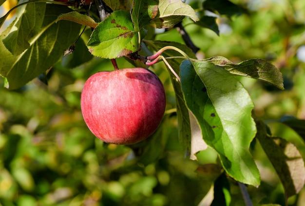 Red apple growing on tree.