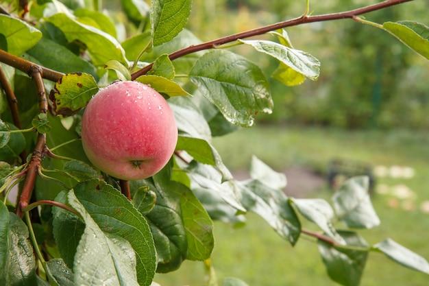 自然なぼやけた背景を持つ夏の日の庭の木の枝に赤いリンゴ。