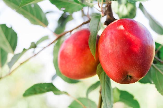 果樹園のリンゴの木の枝に赤いリンゴ、収穫。外の庭で秋の収穫。