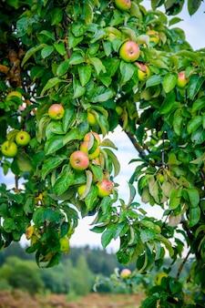 Красные яблоки висят на ветке дерева. фруктовый сад. домашние яблоки. фруктовое дерево.