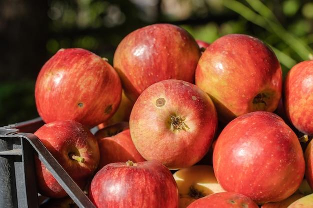 Красные яблоки в пластиковой корзине. концепция урожая яблок. фото крупным планом