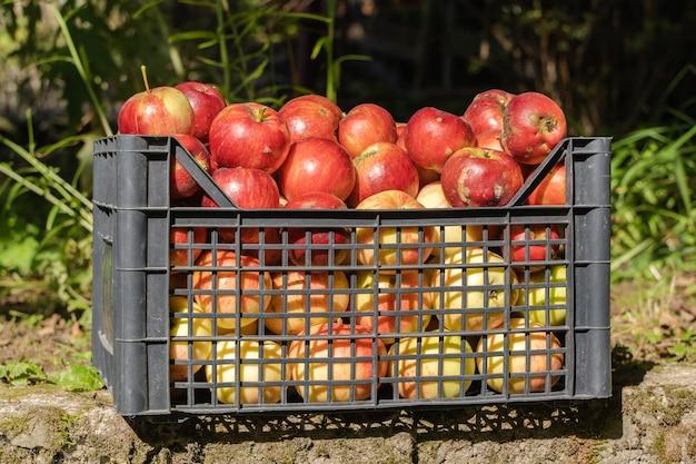 Красные яблоки в пластиковой корзине в яблоневом саду. концепция урожая яблок