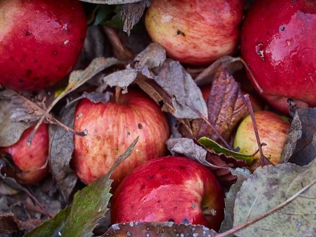 乾燥した葉に赤いリンゴをクローズアップ。