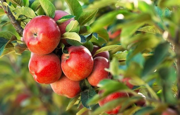 Красные яблоки на дереве яблоневый сад